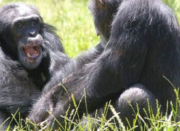 NIH to Retire Alamogordo Chimpanzees in Place