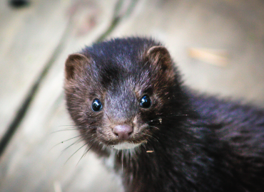 USDA has confirmed SARS-CoV-2 in Mink within the US