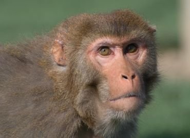 NABR Board Member Calls for Additional COVID-19 Studies with Nonhuman Primates